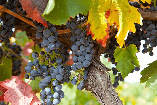 Go Wine Tasting in South Australia's Wine Regions